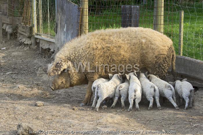 Mangalica pig (Sus scrofa domestica), or Mangalitsa or Mangalitza suckling piglets, Hungarian breed of pig, Burgenland, Austria, Europe