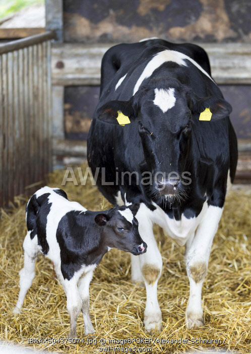 Small calf standing next to the mother cow in the barn, Holstein Cattle, animal welfare, Rhineland-Palatinate, Germany, Europe
