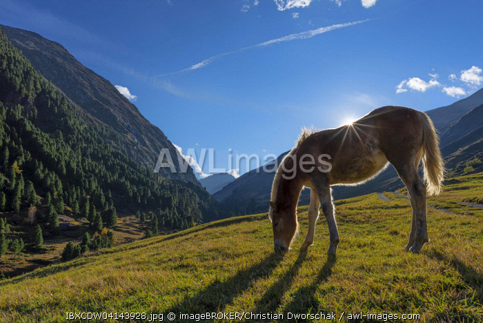Haflinger horse grazing, Vent, Otztal, Tyrol, Austria, Europe