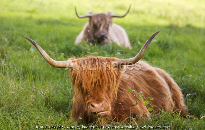 Highland cattle (Bos taurus), Bergisches Land or Land of Berg, North Rhine-Westphalia, Germany, Europe