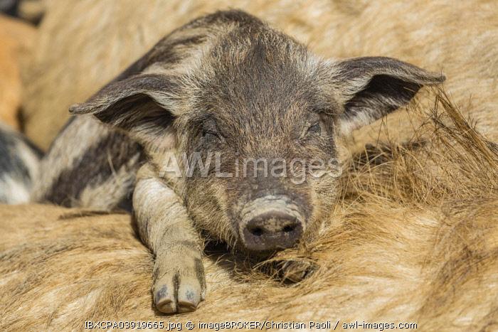 Mangalitsa or Mangalitza Pigs (Sus scrofa domestica), sleeping piglet, Tyrol, Austria, Europe