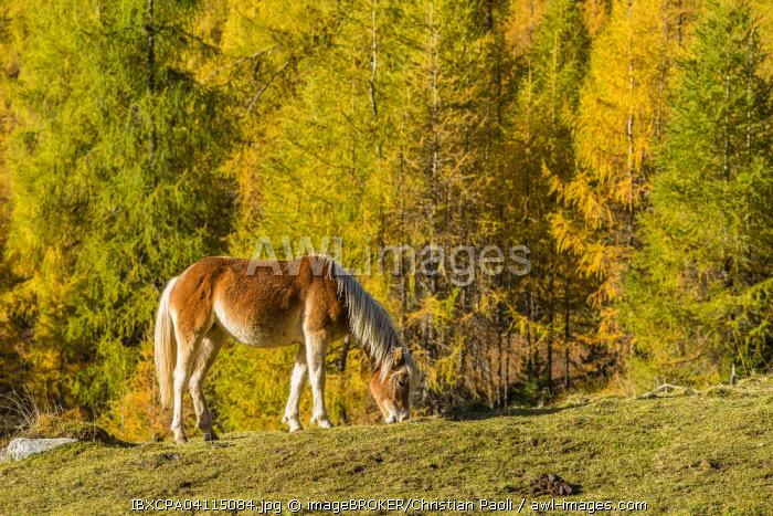 Haflinger (Equus ferus caballus), autumn larch forest, Sellraintal, Tyrol, Austria, Europe