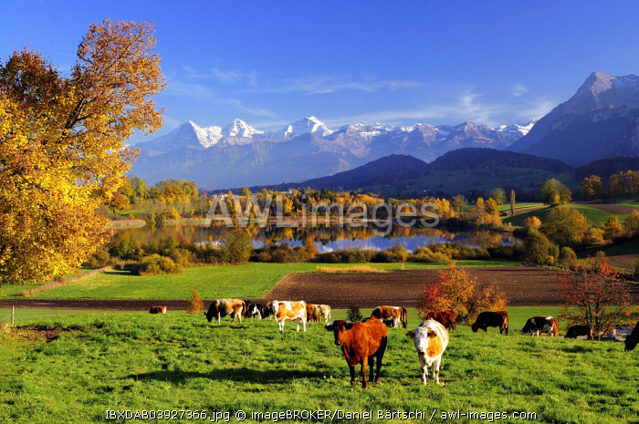 Cows in front of Uebeschisee Lake in autumn, Bernese Alps with mountains Eiger, Monch and  Jungfrau at the back, Niesen, Canton of Bern, Switzerland, Europe