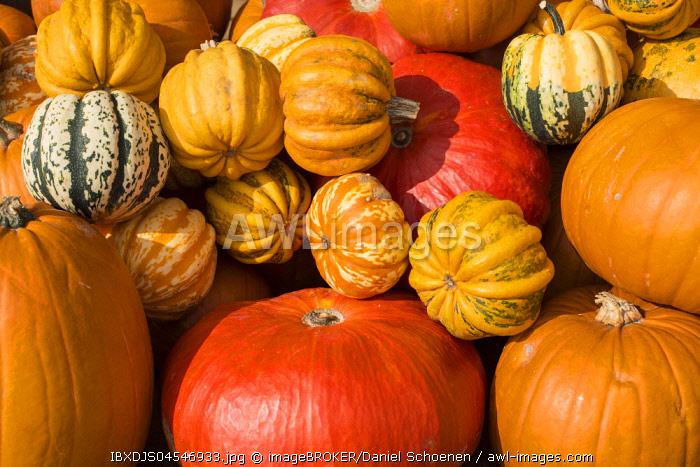 Different varieties of pumpkins, pumpkins, Baden-Wurttemberg, Germany, Europe