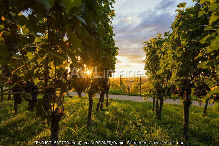 Solar reflex, vineyard with red grapes, Kaiserstuhl, Baden-Wurttemberg, Germany, Europe