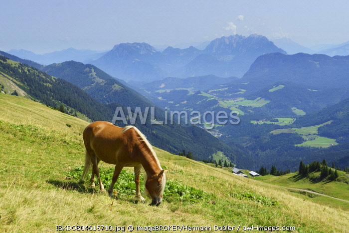 Horse, Haflinger, at the Hinteres Sonnwendjoch over the Ackernalm, behind Zahmer Kaiser and Wilder Kaiser, near Kufstein, Tyrol, Austria, Europe