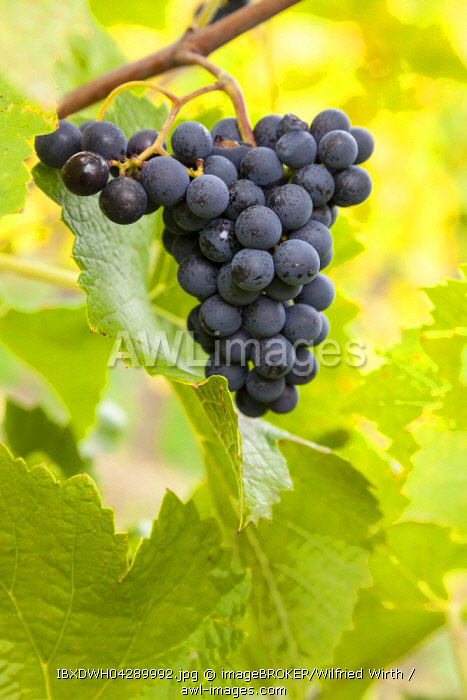 Ripe blue grapes (Vitis sp.) on vine, Rhine Gorge, Hesse, Germany, Europe