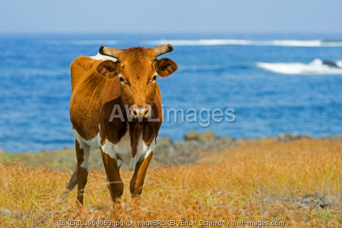 Cattle on the Pacific coast, Easter Island, Chile, South America
