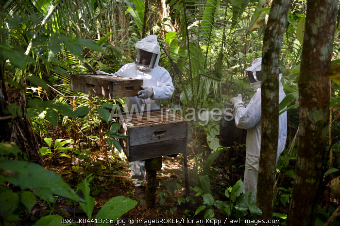 Two beekeepers with beehives in the Amazon rainforest, honeybee (Apis mellifera), Asentamento Areia, Trairao District, Para�, Brazil, South America