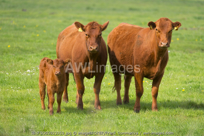 Domestic Cattle (Bos primigenius taurus) cows with a calf standing on a pasture, Lower Saxony, Germany, Europe