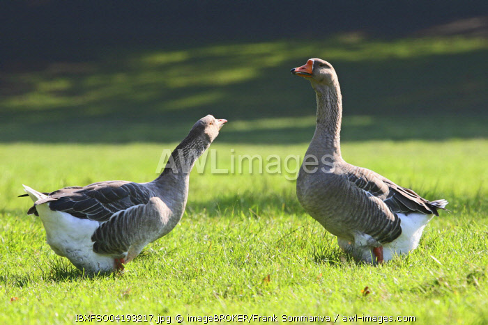Two fat Domestic Geese (Anser spec.) standing in a meadow, Thuringia, Germany, Europe