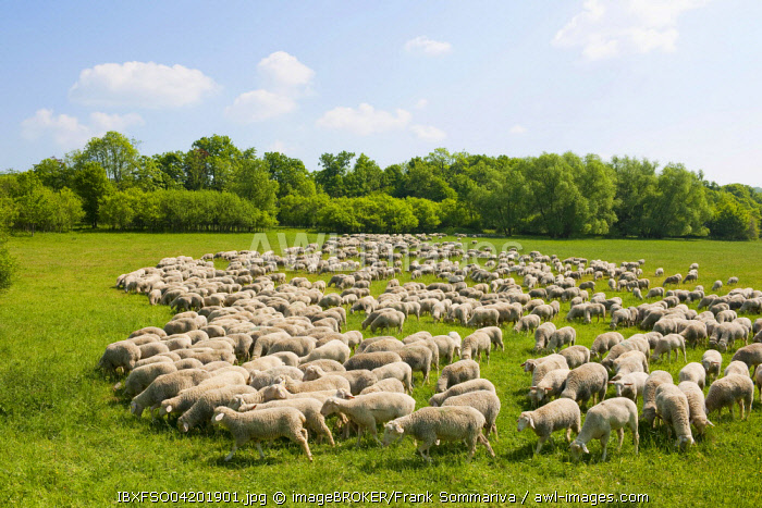 A flock of domestic sheep at the Hainich National Park, Thuringia, Germany, Europe