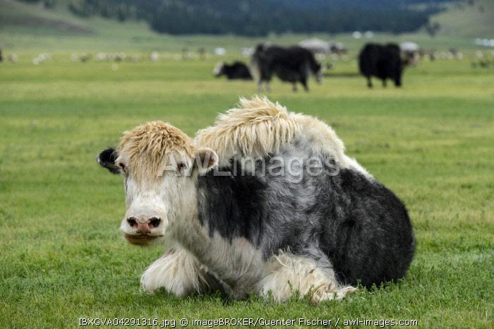 Black White yak (Bos mutus), Orkhon Valley, Khangai Nuruu National Park, Va Arkhangai Aimag, Mongolia, Asia