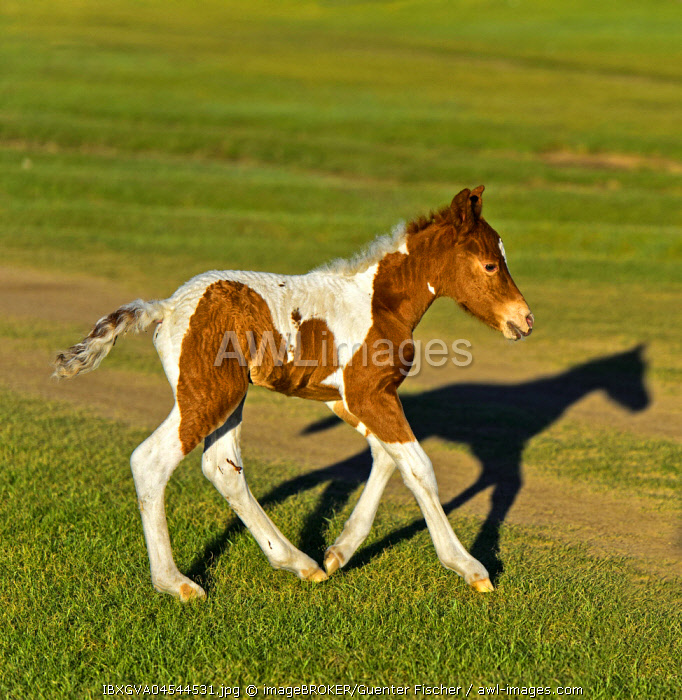 Spotted foal (Equus), Orchon Valley, Mongolia, Asia