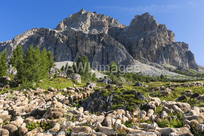 Flock of sheep on Falzarego Pass, the Lagazuoi with cable car station at the back, Cortina d'Ampezzo, Veneto, Italy, Europe