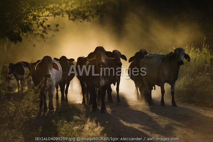 Cattle on dirt road, Rio das Flores, Rio de Janeiro, Brazil, South America