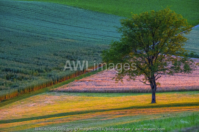 Fields in contrasting colours with a tree, Canton of Aargau, Switzerland, Europe