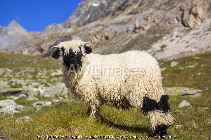 Valais Blacknose Sheep, at Hohbalmen, Zermatt, Canton of Valais, Switzerland, Europe