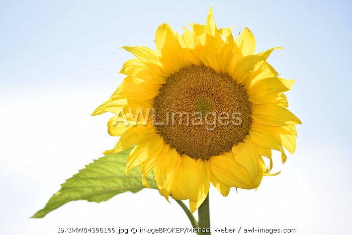 Sunflower (Helianthus annuus) against a blue sky
