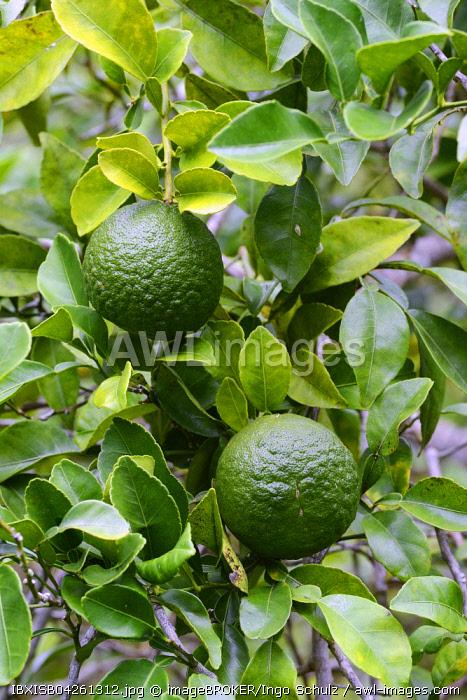 Orange (Citrus sp.) tree, fruit, Mahe Island, Seychelles, Africa