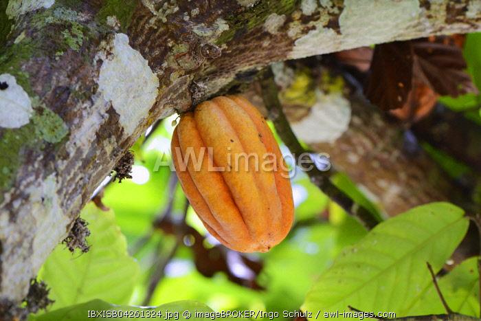 Cocoa tree or cacao tree (Theobroma cacao), fruit, Mahe Island, Seychelles, Africa