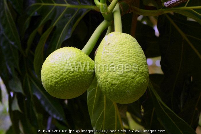 Breadfruit (Artocarpus altilis) tree, fruit, Mahe Island, Seychelles, Africa