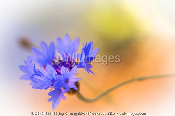Cornflower (Centaurea cyanus), Spree, Cottbus, Germany, Europe