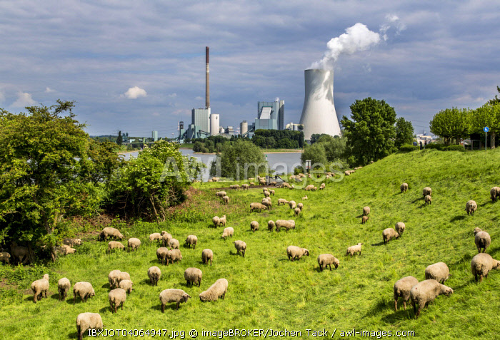 Sheep on the pasture in front of the Walsum STEAG power plant, a coal-fired power station, cooling tower Block 10, on the Rhine, Duisburg, Ruhr district, North Rhine-Westphalia, Germany, Europe