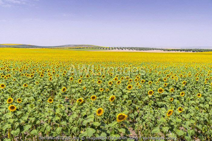 Sunflower field, Andalusia Spain