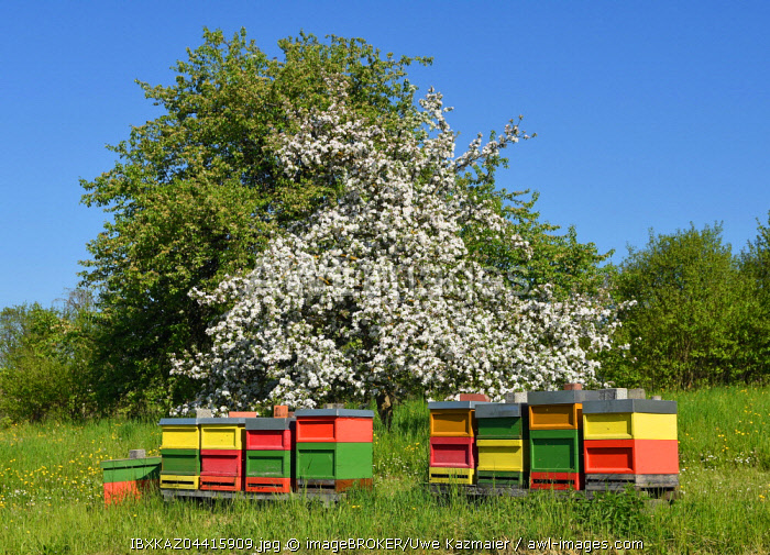Bee hives in front of a blooming fruit tree, Baden-Wurttemberg, Germany, Europe