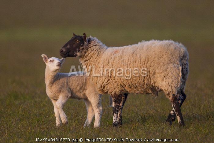 Sheep (Ovis aries), lamb and ewe on a pasture, Suffolk, United Kingdom, Europe