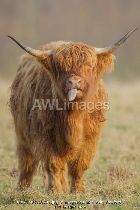 Highland Cattle (Bos taurus), cow sticking out tongue, on a pasture, Suffolk, United Kingdom, Europe