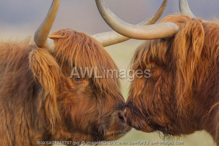 Highland Cattle (Bos taurus), two cows greeting each other, Suffolk, United Kingdom, Europe
