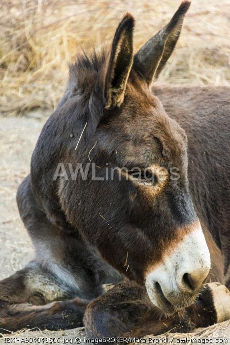 Donkey (Equus africanus asinus), Corse-du-Sud, Corsica, France, Europe
