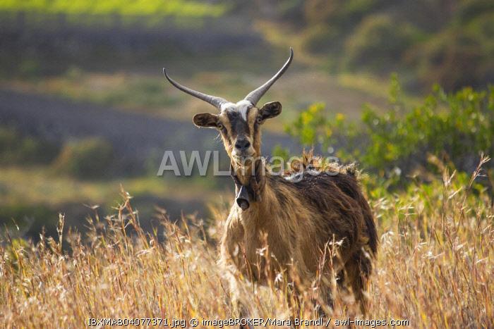 Goat (Capra), tall grass, La Palma, Canary Islands, Spain, Europe