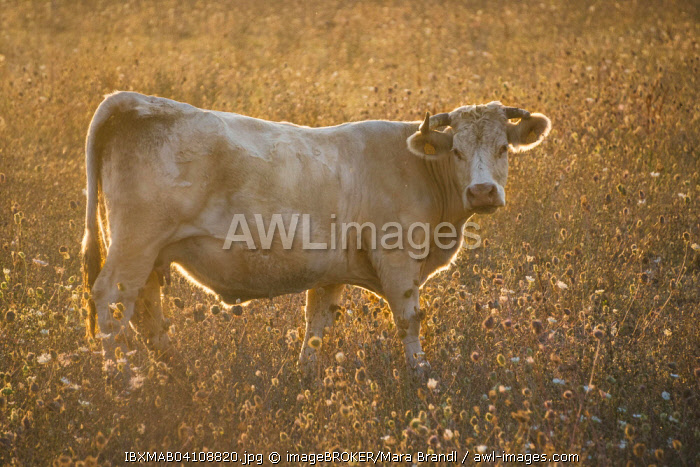 Charolais cattle, cow in a pasture in the evening light, Corsica, France, Europe