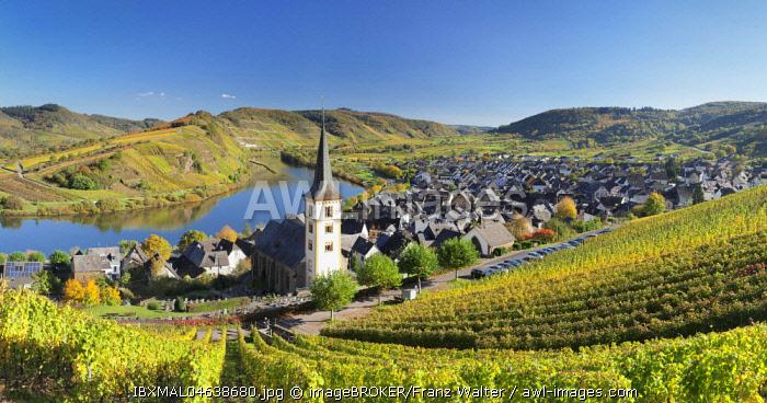 Vineyard at Moselleschleife near Bremm, Bremmer Calmont, Moselle, Rhineland-Palatinate, Germany, Europe