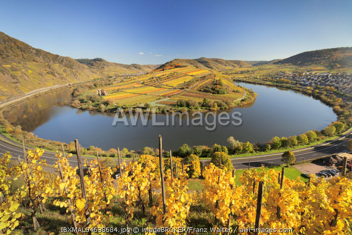Vineyard at Moselleschleife in autumn near Bremm, Bremmer Calmont, Moselle, Rhineland-Palatinate, Germany, Europe