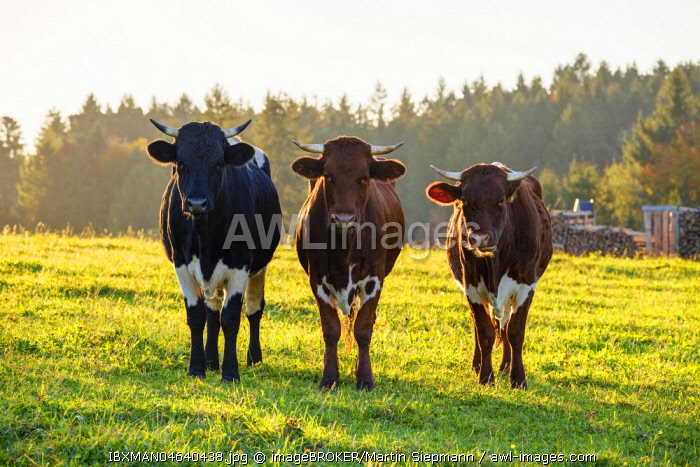 Cows stand next to each other on pasture, Peretshofen, Upper Bavaria, Alpine foothills, Bavaria, Germany, Europe