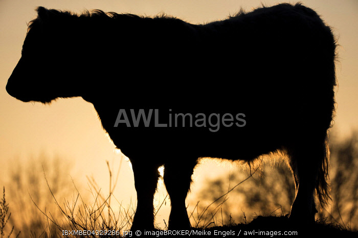 Galloway cattle (Bos primigenius taurus) in backlight on a pasture, Doberitzer Heide nature reserve, Brandenburg, Germany, Europe