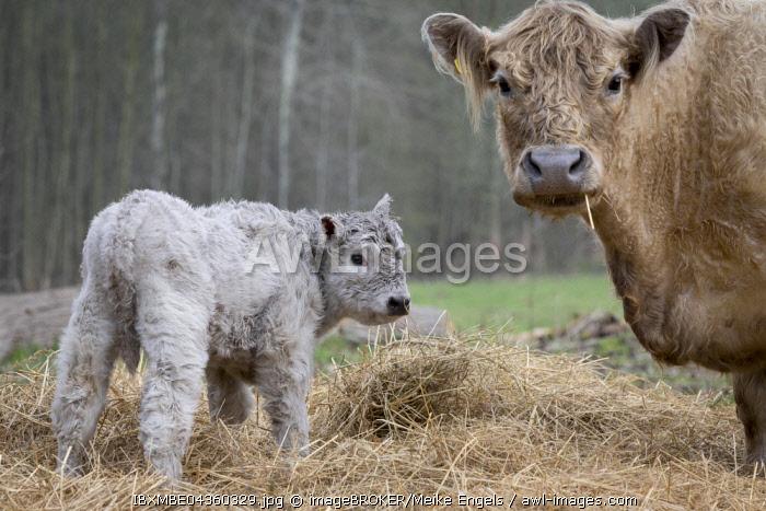 Galloway cattle (Bos primigenius taurus) with blond pigmentation, suckler with newborn calf, appropriate animal welfare, free range, Nature reserve Doberitz Heath, Priort, Brandenburg, Germany, Europe