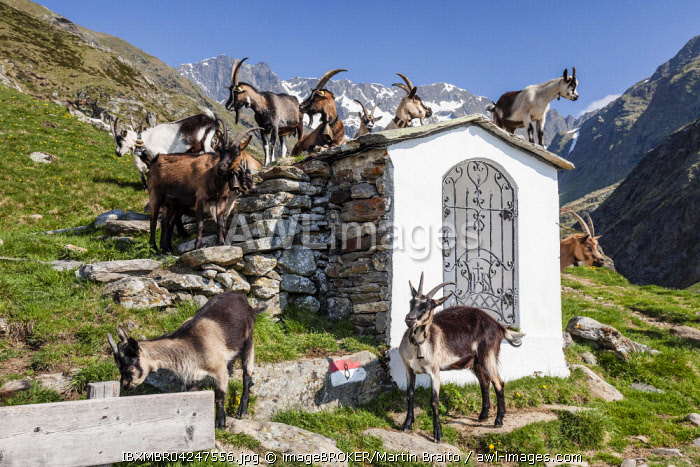 Goats by a small chapel, Zieltal below Sattelspitz Meraner Land, South Tyrol Province of region of Trentino-Alto Adige, Alps, Italy, Europe