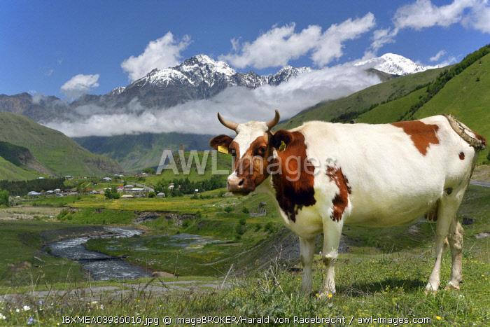 Cow on a pasture at River Tergi or Terek, near Sioni, High Caucasus, Mtskheta-Mtianeti region, Georgia, Asia