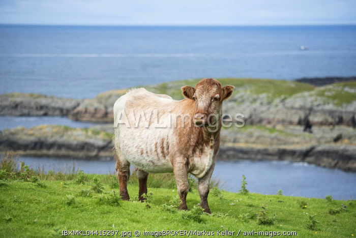 Cow (Bos primigenius taurus) stands in a pasture on the Atlantic coast, Isle of Islay, Inner Hebrides, Scotland, United Kingdom, Europe