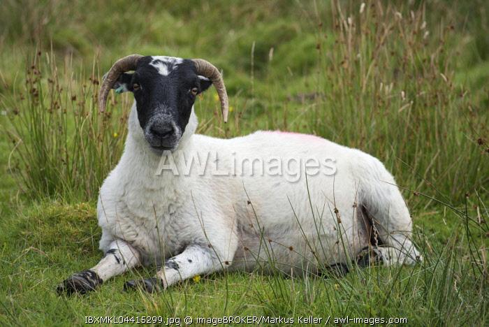 Scottish Sheep, Scottish Blackface sheep (Ovis aries gmelini) lying in meadow, Isle of Islay, Inner Hebrides, Scotland, United Kingdom, Europe