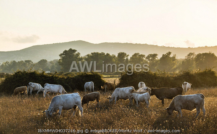 Charolais cattle in a pasture, evening light, Corsica, France, Europe