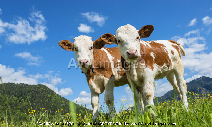 Two young calves (Bos primigenius taurus) standing inquisitively on an alpine pasture, Upper Bavaria, Bavaria, Germany, Europe