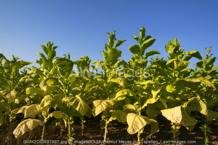 Ripe Tobacco field (Nicotiana) against blue sky, Ringsheim, Baden-Wurttemberg, Germany, Europe