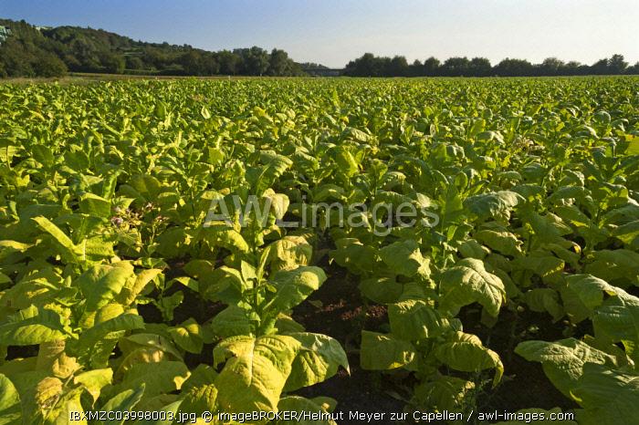 Ripe Tobacco field (Nicotiana), Ringsheim, Baden-Wurttemberg, Germany, Europe