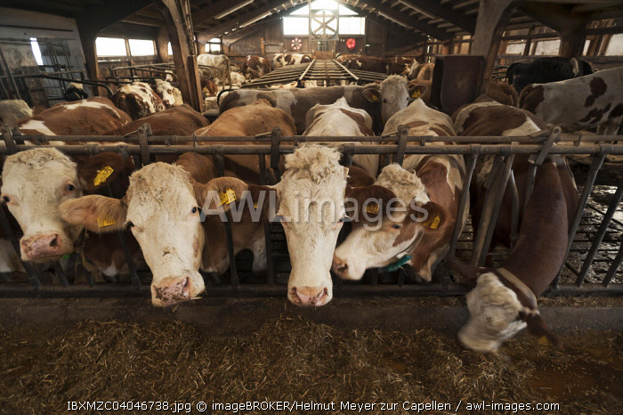 Dairy cows at the feeding fence in a freestall, Bavaria, Germany, Europe